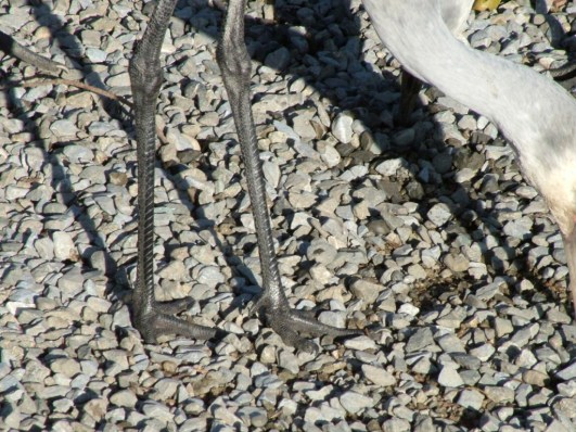 A closeup image of a Sandhill crane's legs at the Reifel Migratory Bird Sanctuary in Delta, British Columbia, Canada.