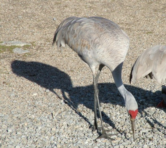 Sandhill crane eating grain at Reifel Migratory Bird Sanctuary in Delta, BC, Canada