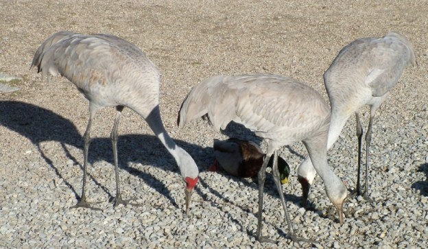 An image of three Sandhill cranes at the Reifel Migratory Bird Sanctuary in Delta, British Columbia, Canada.