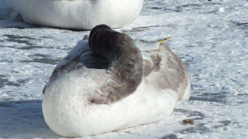 trumpeter swan cygnets on ice at la salle park - burlington