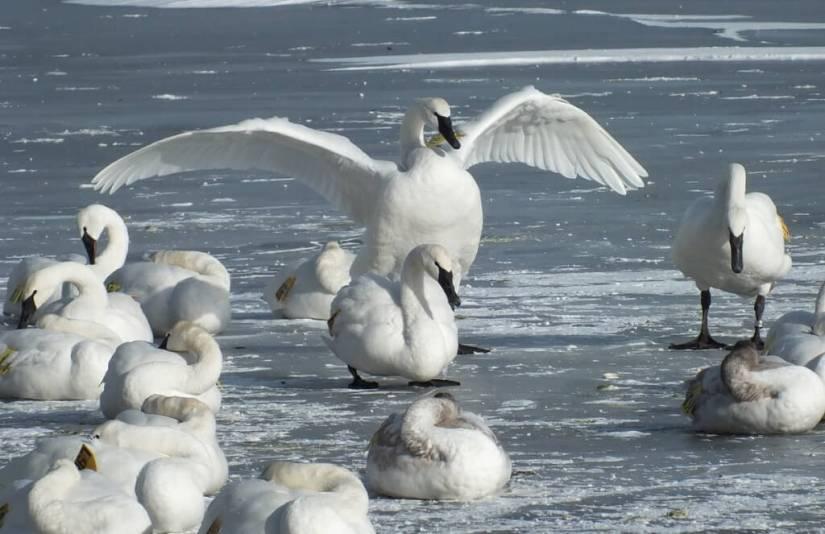 trumpeter swan holds up wings on ice at la salle park - burlington - ontario