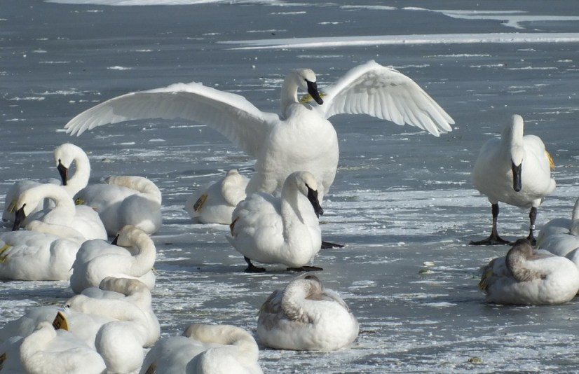 Trumpeter swan holds up its wings on the ice at La Salle Park in Burlington, Ontario