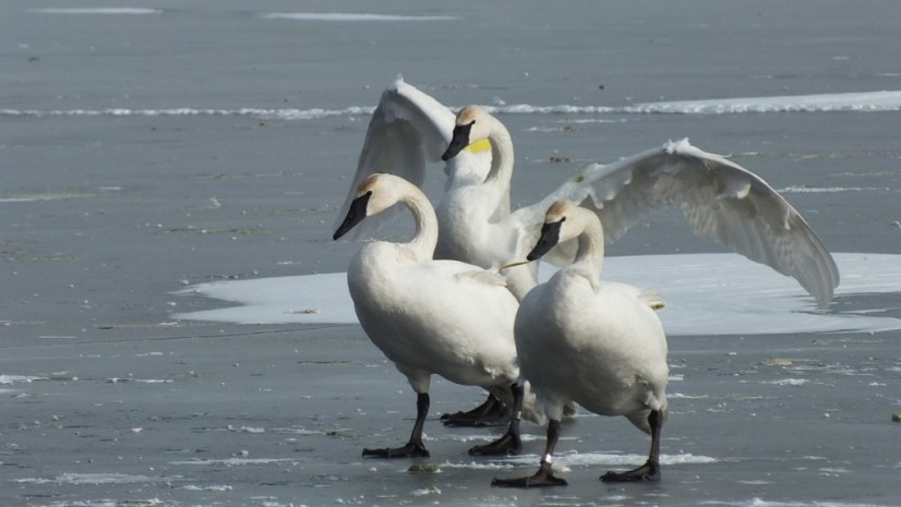 Trumpeter swans standing on the ice at La Salle Park, in Burlington, Ontario