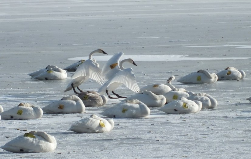 Two Trumpeter swans hold wings up on the ice at La Salle Park in Burlington, Ontario