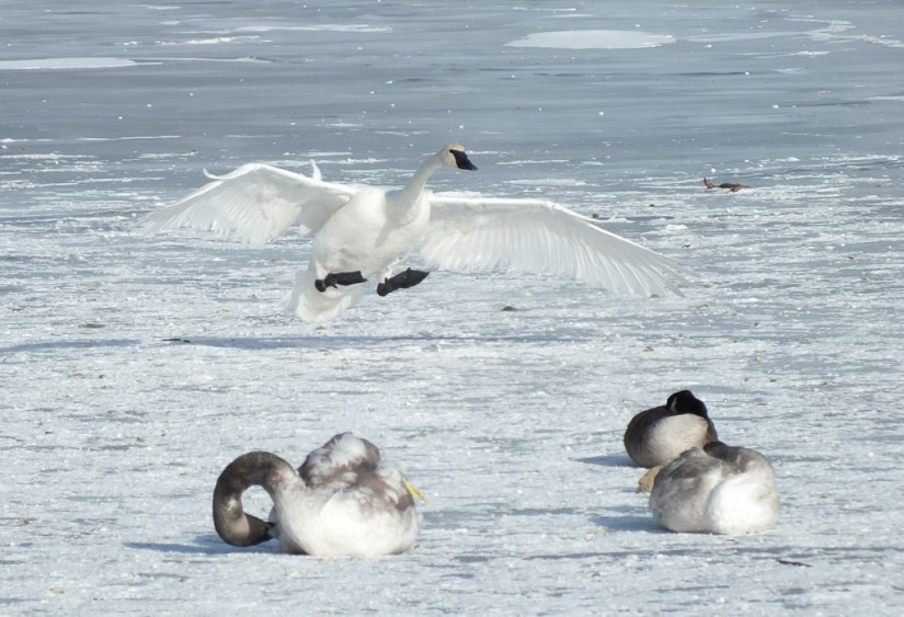 Trumpeter swan prepares to land on the ice at La Salle Park in Burlington, Ontario