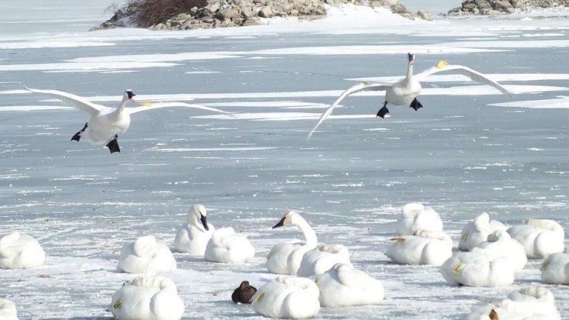trumpeter swan prepares to land on ice - la salle park - burlington - ontario 2