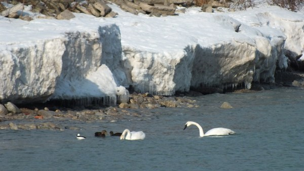 trumpeter swans at bluffers park - toronto