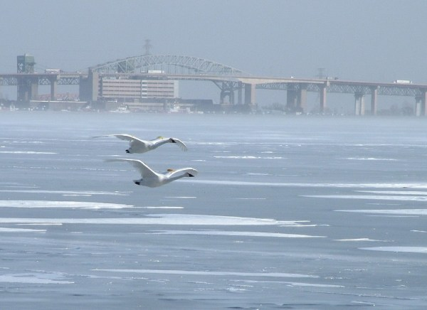 trumpeter swans fly over ice - burlington bay - ontario