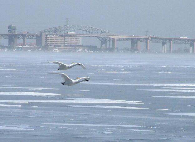 Trumpeter swans flying over the ice in Burlington Bay in the winter off La Salle Park, in Burlington, Ontario