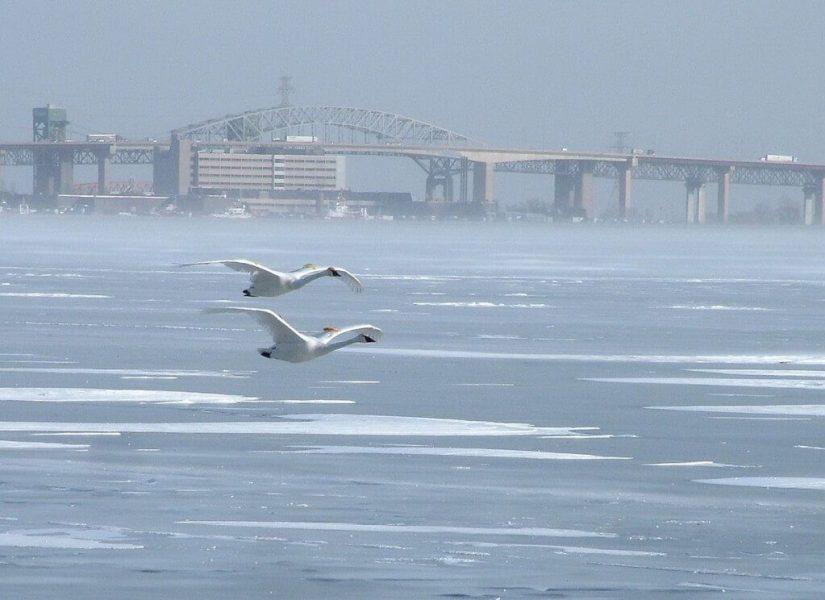 trumpeter swans fly over ice - burlington bay - ontario