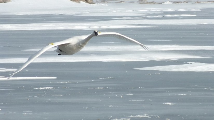 Trumpeter swan in flight over the winter ice off La Salle Park in Burlington, Ontario, Canada