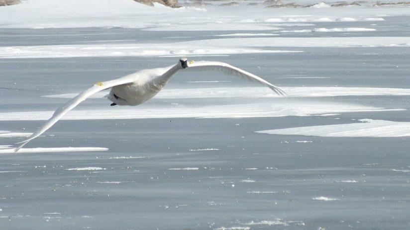 Trumpeter swan in flight over the winter ice off La Salle Park in Burlington, Ontario, Canada