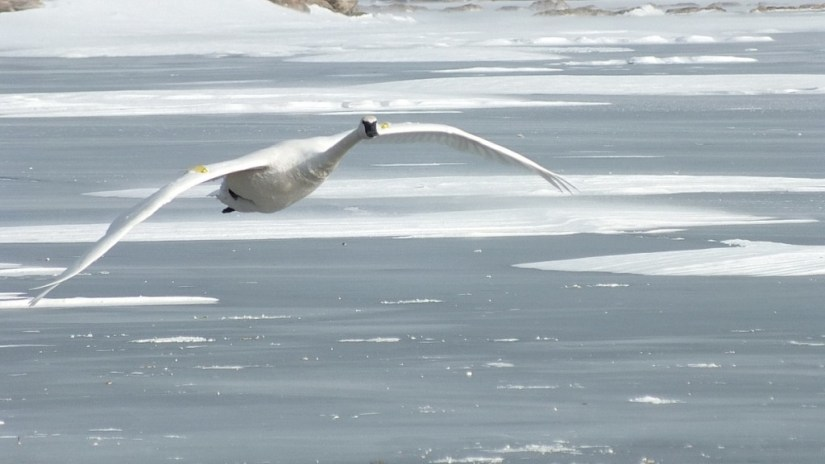 trumpeter swans in flight above ice at la salle park - burlington