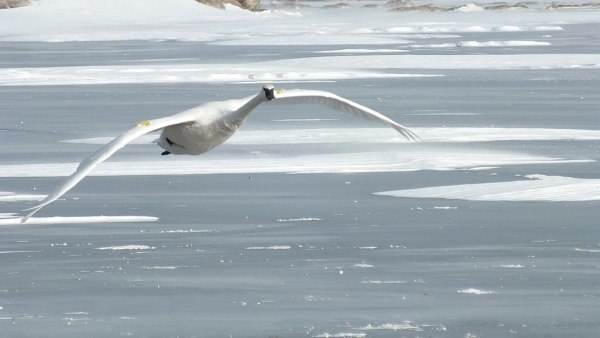 trumpeter swans in flight above ice at la salle park - burlington