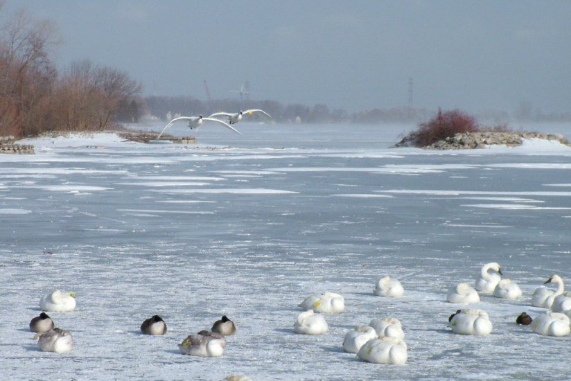 Trumpeter swans in the winter at La Salle Park, in Burlington, Ontario