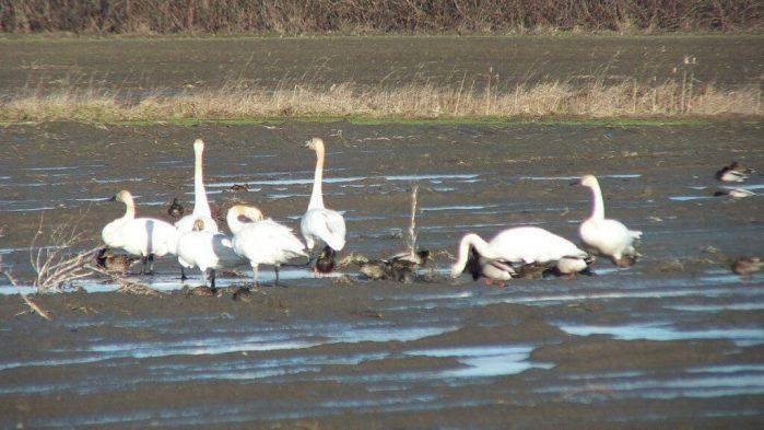 trumpeter swans on delta farmland - BC
