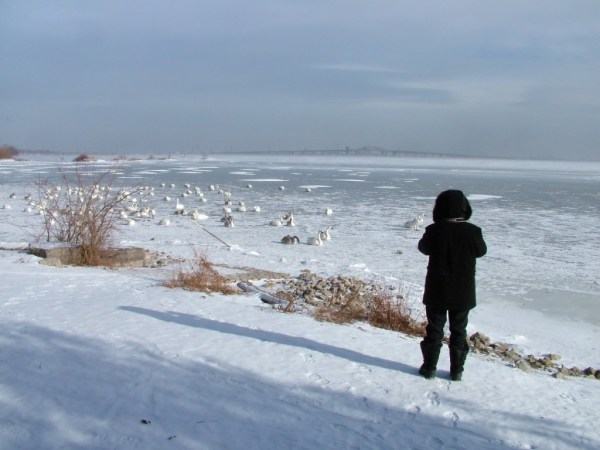trumpeter swans on ice at la salle park - burlington