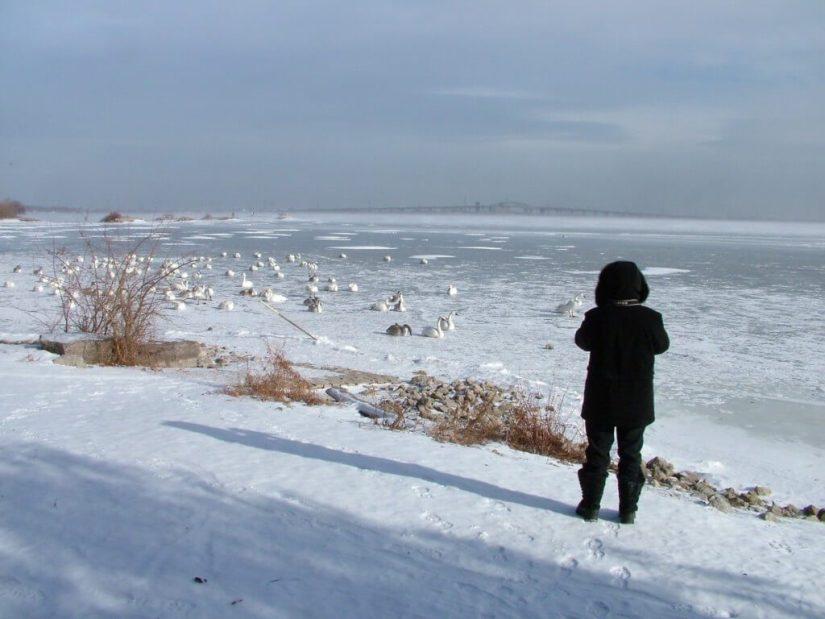 Trumpeter swans sitting on the ice at La Salle Park, Burlington, Ontario