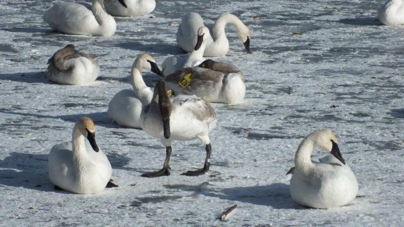 trumpeter swans on ice at la salle park - burlington - ontario