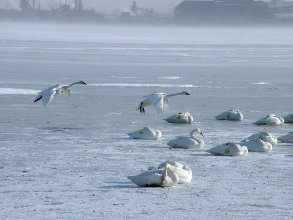 trumpeter swans prepare to land on ice - burlington bay - ontario 1