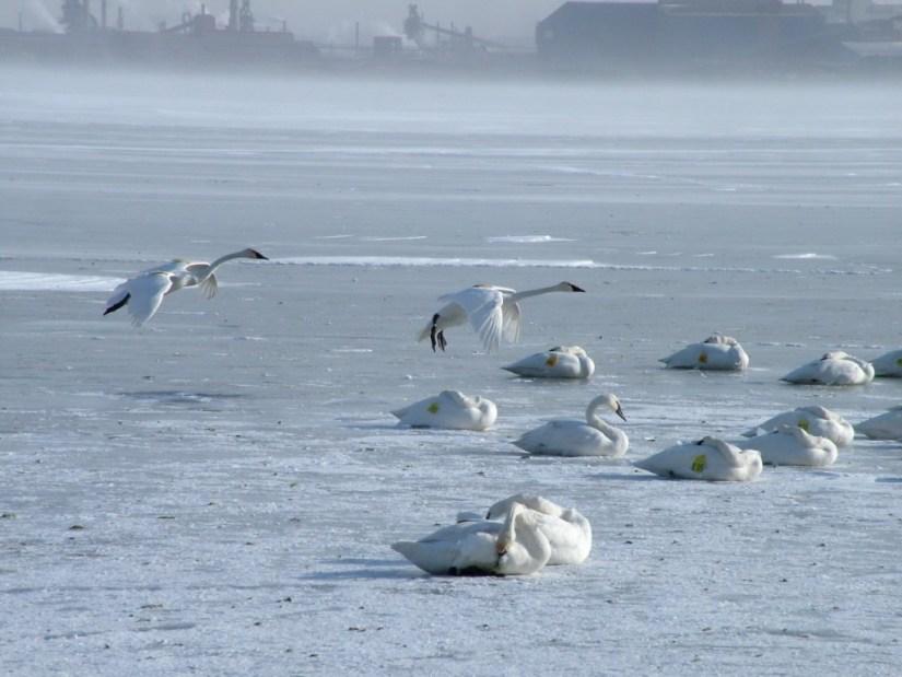 trumpeter swans prepare to land on ice - burlington bay - ontario 1