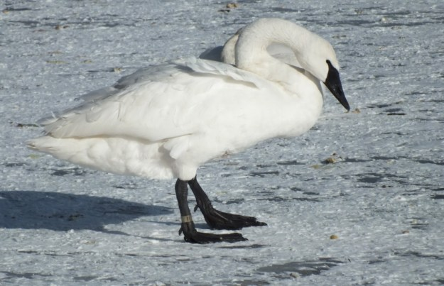 Trumpeter swan standing on the ice at La Salle Park, Burlington, Ontario