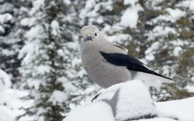 Clark's Nutcracker at Lake Louise - Alberta 1