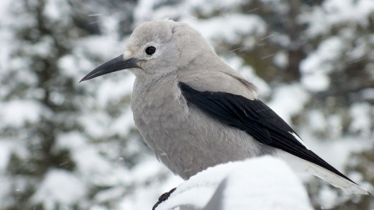 Clark's Nutcracker at Lake Louise - Alberta 3