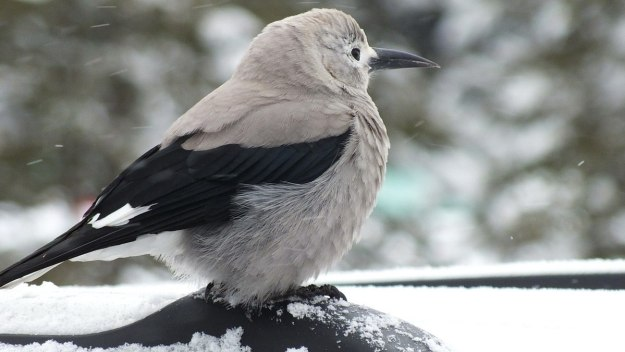 Clark's Nutcracker at Lake Louise - Alberta 4