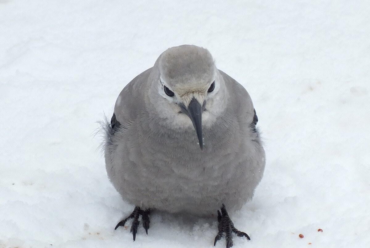 Clarks Nutcracker - Birds of North America Online