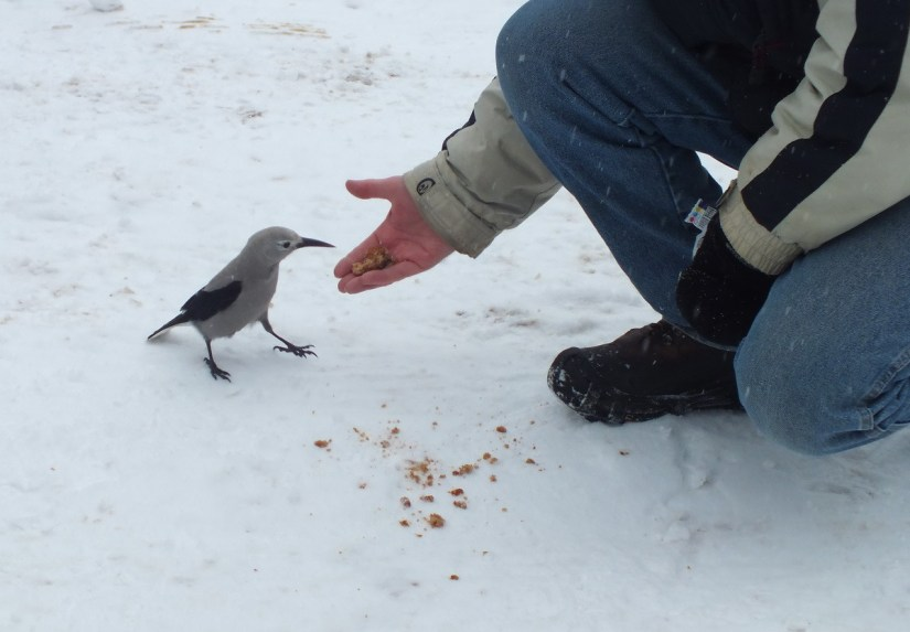 Clark's Nutcracker eats out of hand at Lake Louise - Alberta 3