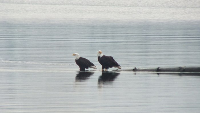 bald eagles at comox - bc