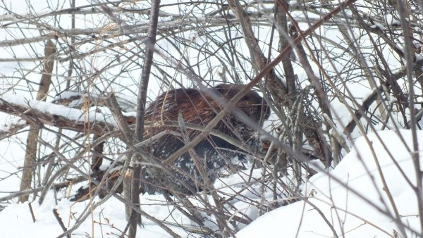 beaver chews tree at arrowhead provincial park - ontario