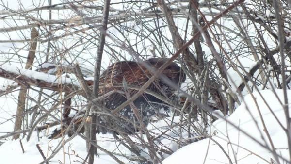 beaver chews tree at arrowhead provincial park - ontario