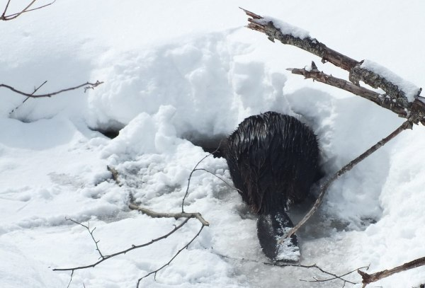 beaver enters hole in ice at arrowhead provincial park - ontario