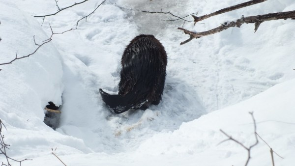 beaver heads back to frozen lake - arrowhead provincial park - ontario