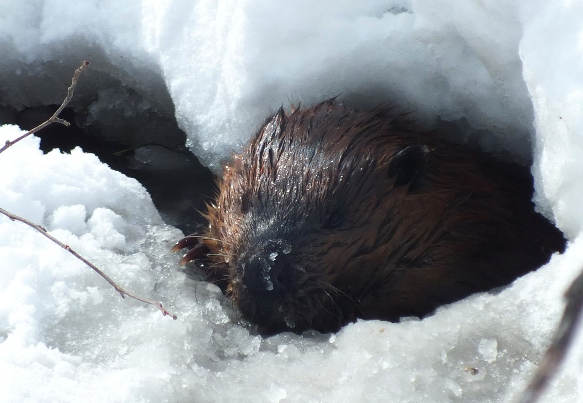 A beaver in the icy waters at Arrowhead Provincial Park in Ontario, Canada