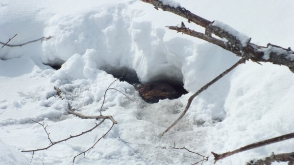 beaver in icy water at arrowhead provincial park - ontario