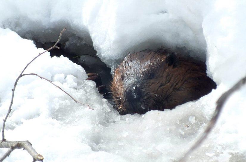 beaver looks towards camera in frozen lake - arrowhead provincial park - ontario