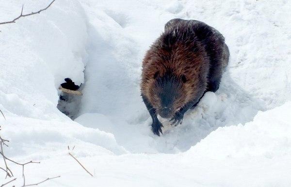 beaver stops on snow at arrowhead provincial park - ontario