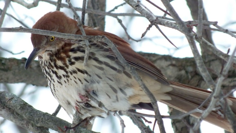 brown thrasher, lynde shores conservation area, whitby, ontario
