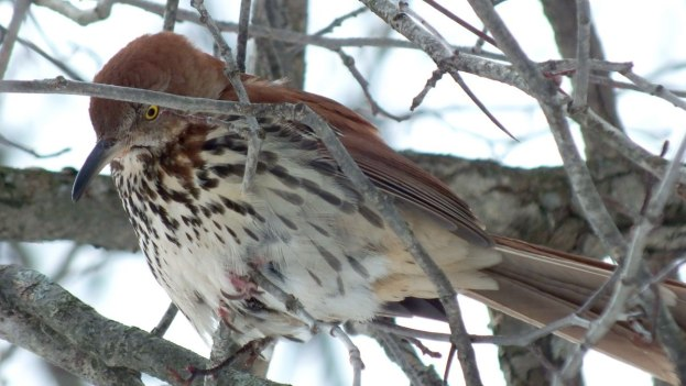 brown thrasher - lynde shores conservation area - whitby 11