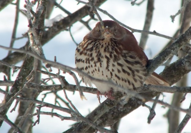 brown thrasher - lynde shores conservation area - whitby 13