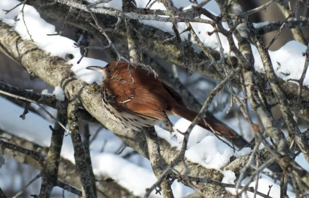brown thrasher - lynde shores conservation area - whitby 16