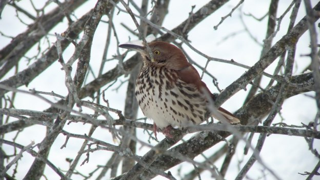 brown thrasher - lynde shores conservation area - whitby 2