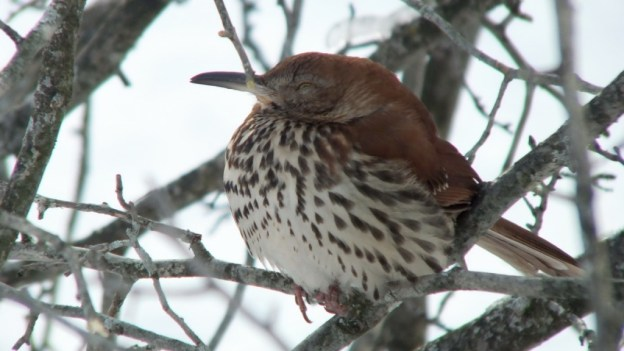 brown thrasher - lynde shores conservation area - whitby 3