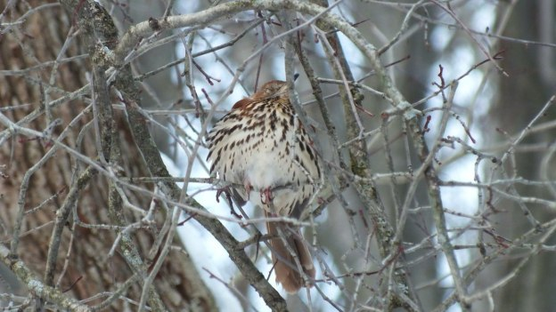 brown thrasher - lynde shores conservation area - whitby 9