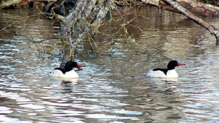 common mergansers at reifel bird sanctuary 10