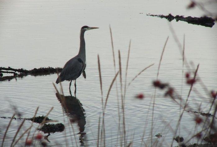 great blue heron - comox - bc