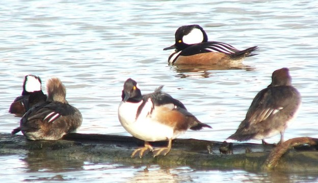hooded mergansers at reifel bird sanctuary 3